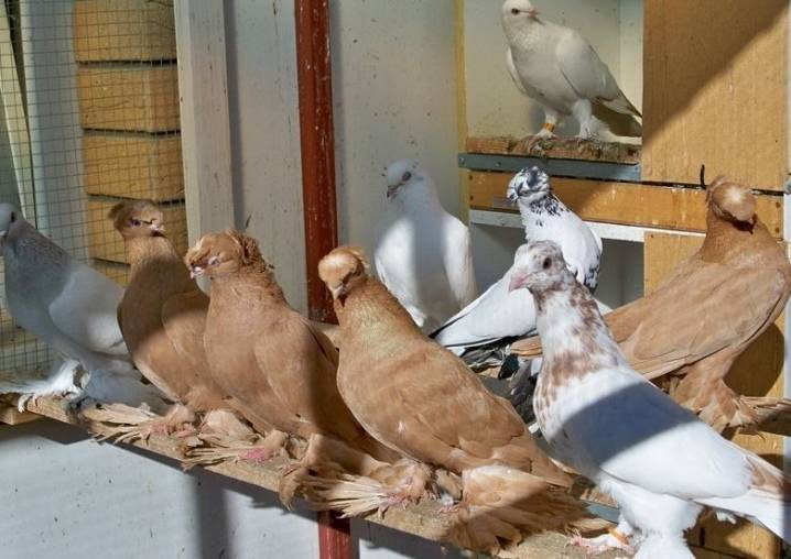 Иранские бойные голуби: описание породы из ирана, фото