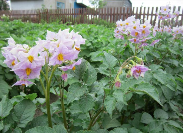 Картофель ирбитский: описание и характеристика, отзывы