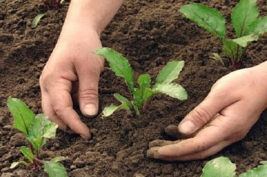 Луковая шелуха для огорода или сада: применение, подкормка