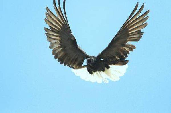 Николаевские высоколетные голуби – полная информация о птицах