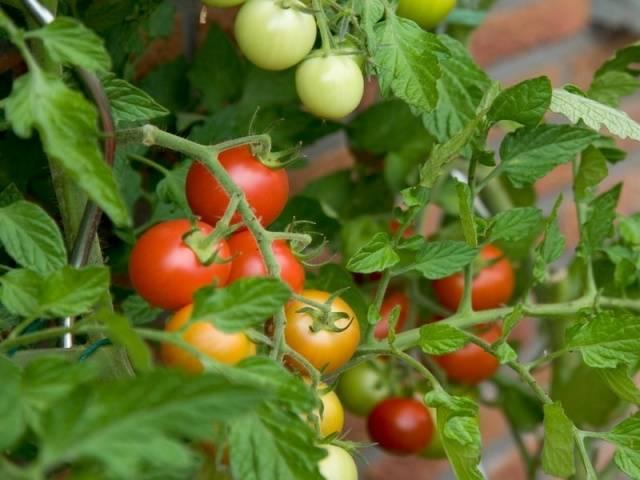 Малышок: удобрение для томатов и перцев