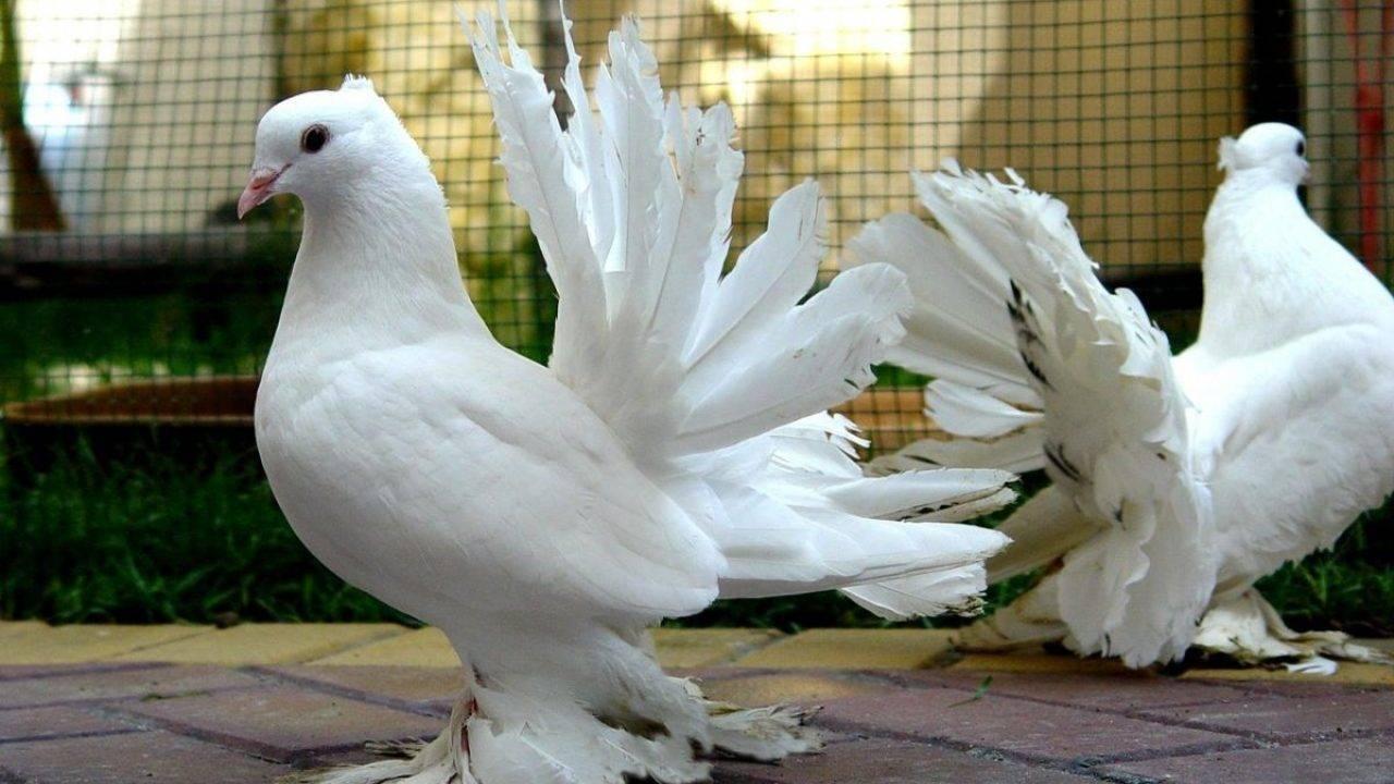 Декоративные голуби (42 фото): обзор пород декоративных голубей и их названия. особенности панцирных и других разновидностей