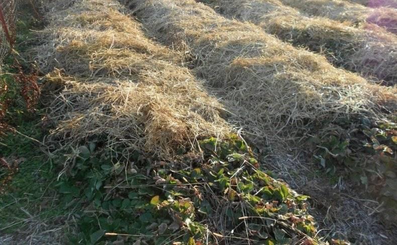 Особенности выращивания клубники пандора