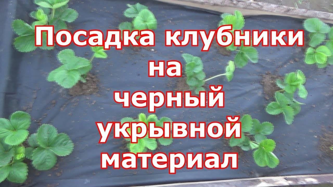 Учимся правильно садить клубнику на чёрный спанбонд (+фото)