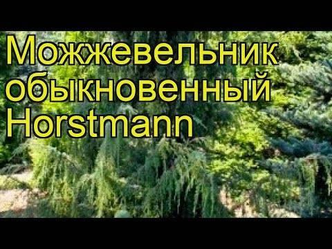 Можжевельник «хорстманн» (40 фото): описание сорта можжевельника обыкновенного. «хорстманн» в ландшафте. посадка и уход