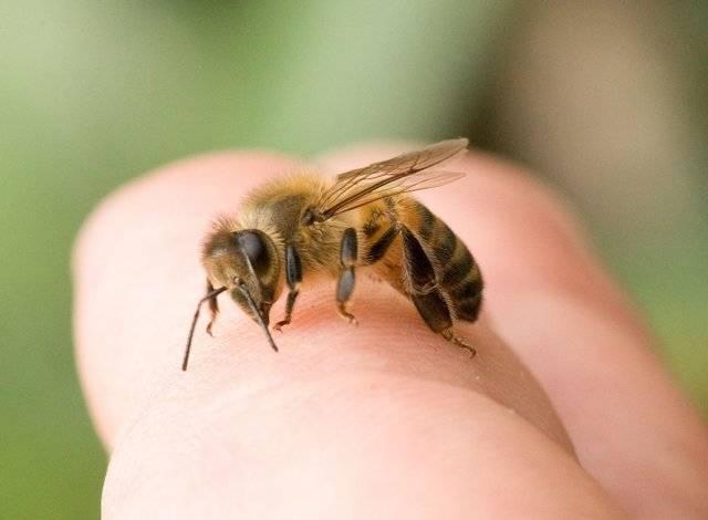 Чем опасна аллергия на укус пчелы