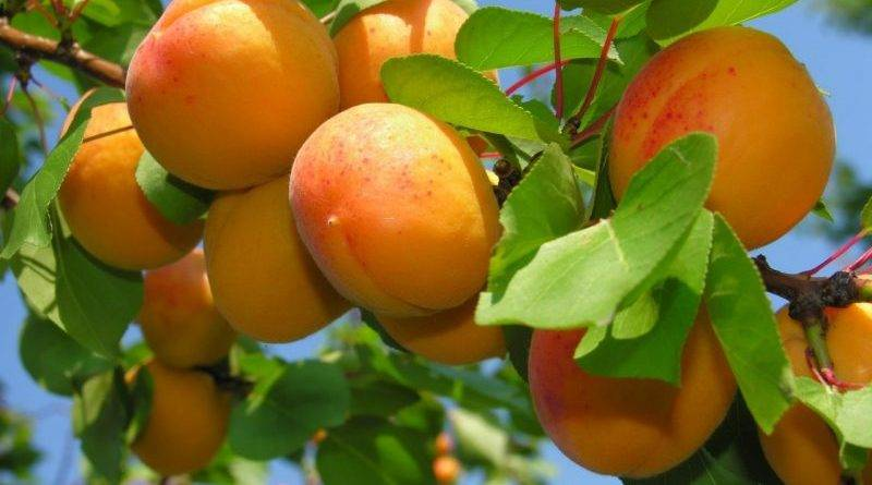 Абрикосы на урале: сорта зимостойкие и описания лучших, выращивание в открытом грунте