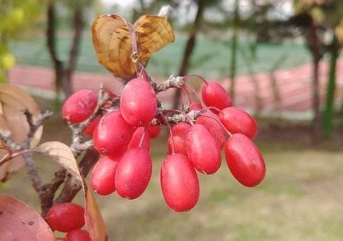 Лечебные свойства и применение лозы дальневосточного лимонника