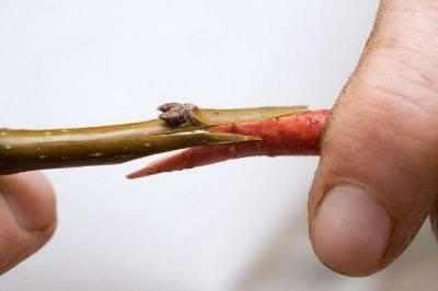 Как быстро спасти яблоню, если кору объели мыши