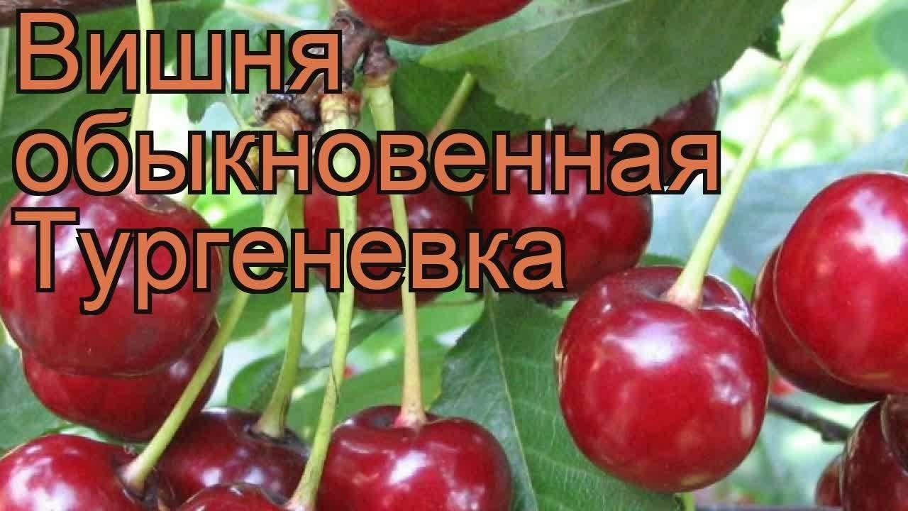 Вишня тургеневка — описание сорта, фото, отзывы садоводов
