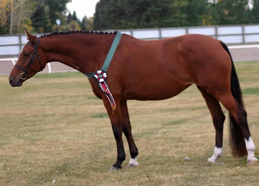 Лучшие породы верховых лошадей: голштинская, ольденбургская и другие