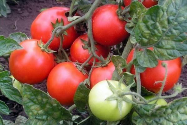 Томат красная шапочка: выращивание, характеристика и описание помидор