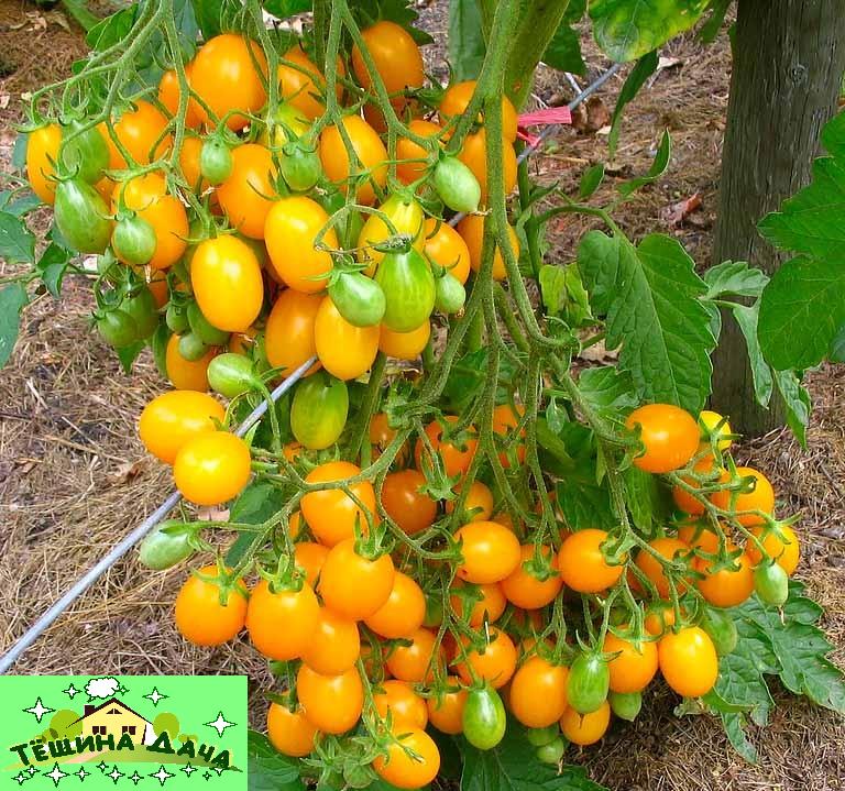 Сорта кистевых томатов для открытого грунта