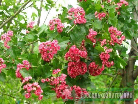 Декоративные деревья и кустарники: боярышник колючий (обыкновенный)