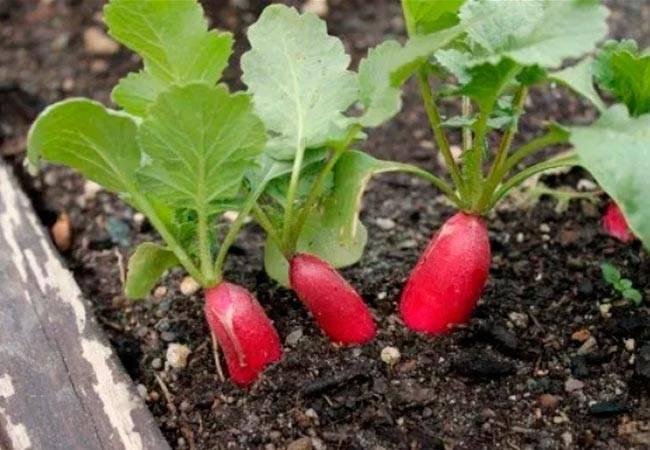 Почему редиска идет в стрелку и что делать: по каким причинам овощ может вытянуться, как поступить, если это произошло и нужно ли предотвратить такое явление?