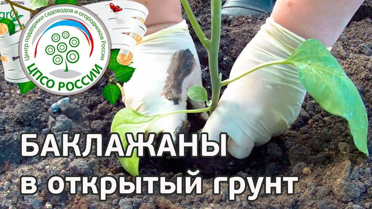 Пересадка дело серьезное! как вырастить баклажаны в открытом грунте