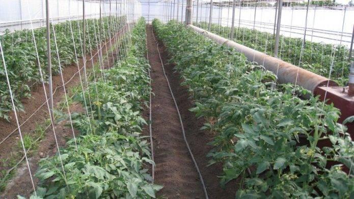 Характеристика и описание сорта томатов виагра, их урожайность
