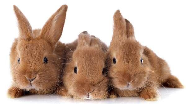 Кролик калифорнийский: особенности ухода и разведения