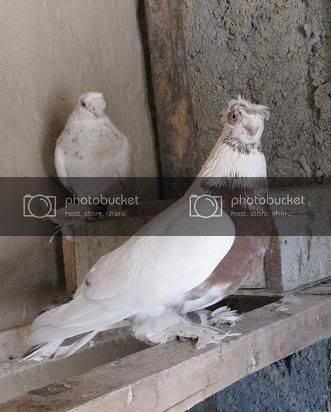 Узбекские бойные голуби — покорители неба