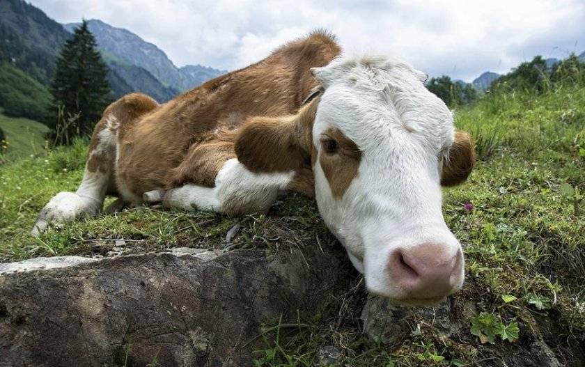 Признаки и лечение пироплазмоза у коров