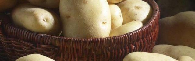 Картофель удача: характеристика сорта