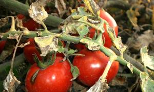 """Томат """"богата хата"""": описание сорта, особенности выращивания, вес, урожайность, а также устойчивость к вредителям"""