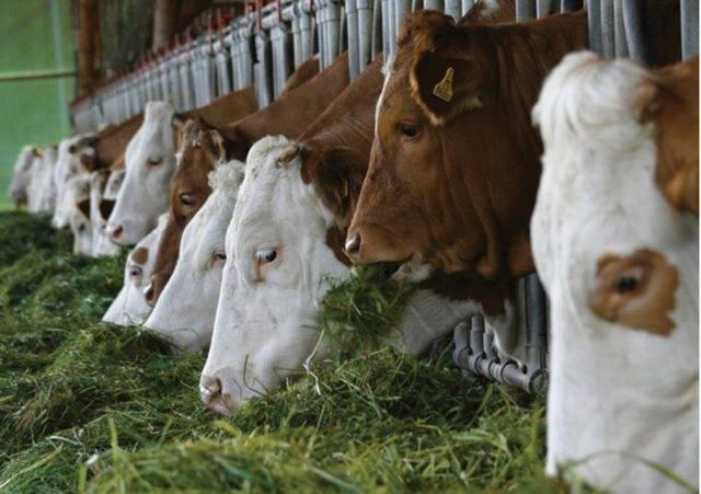 Голштинская корова: идеал для российской домашней фермы