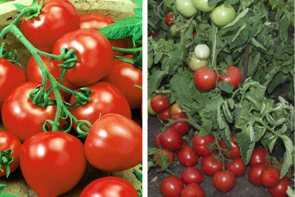 Помидоры «моя любовь» f1: описание сорта и основные характеристики томата