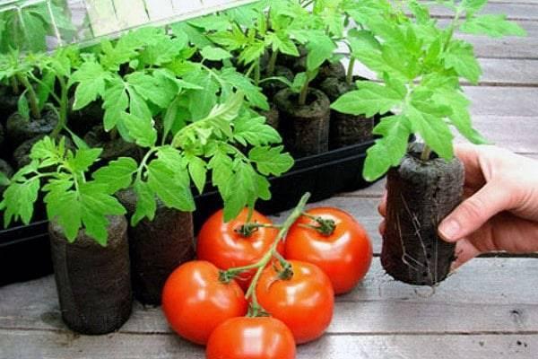 Выращивание рассады томатов в торфяных таблетках - огород