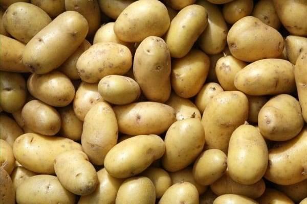 Картофель латона — описание сорта, фото, отзывы, посадка и уход