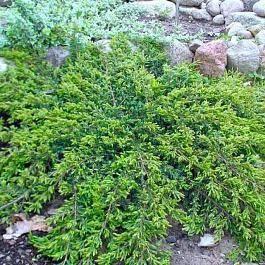 Можжевельник олд голд: описание и фото, выращивание