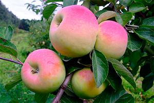 Сорт яблони подарок осени
