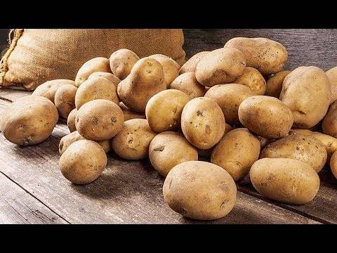 Описание и характеристика картофеля сорта гулливер, посадка и уход