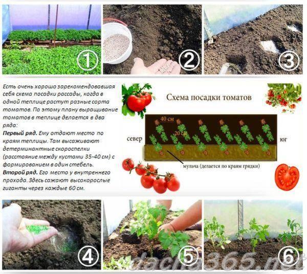 Лучшие сроки высадки помидоров в теплицу из поликарбоната