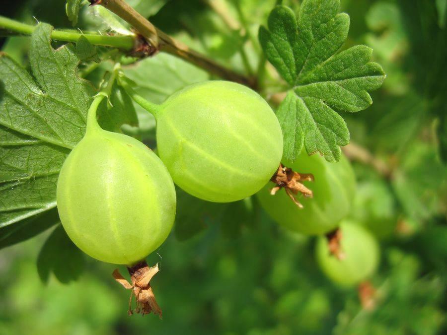 Крыжовник «уральский изумруд»: описание, особенности посадки и выращивания