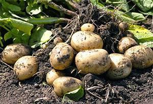 Что такое ризоктониоз (черная парша) картофеля и меры борьбы с ним