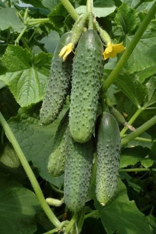 Семена огурцов для теплиц Подмосковья
