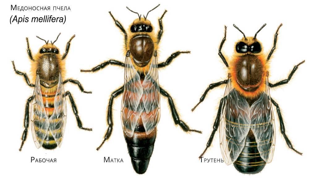 Пчела: строение внешнее и внутреннее. медоносная пчела