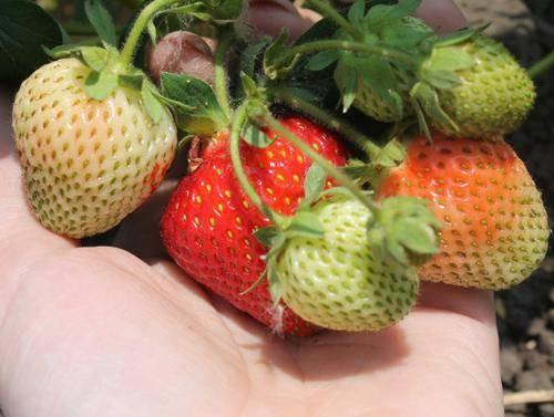 Сорт садовой земляники хоней - отличия от клубники, описание, уход и другие особенности