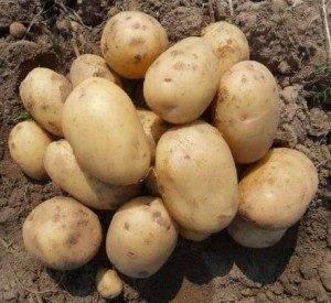 Лучшие сорта картофеля: фото и описание