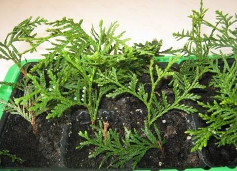 Осеннее черенкование хвойных растений   | блог ольги королевой