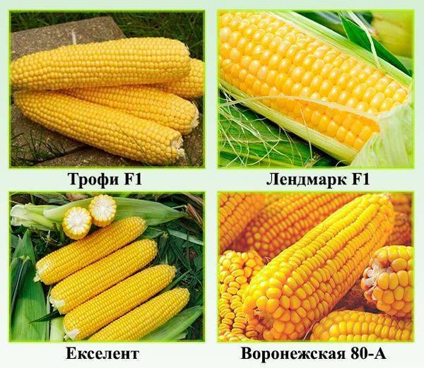Лучшие сорта и гибриды сладкой кукурузы – правила выращивания и ухода