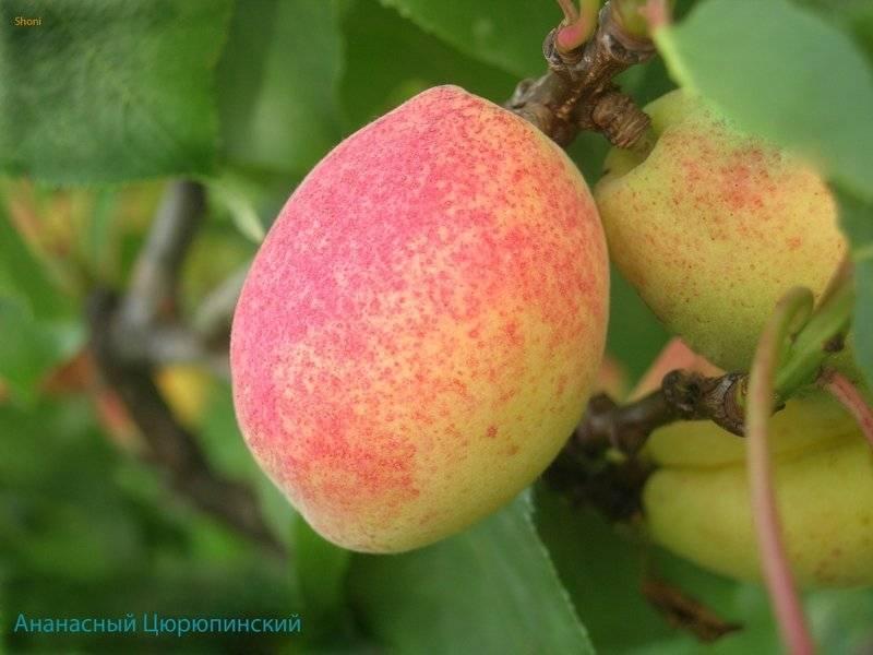 Кусочек солнца – абрикос хабаровский – в вашем саду