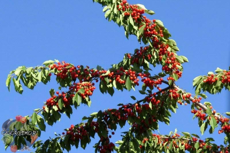 Польза и вред черешни для здоровья, калорийность и состав, как хранить ягоду