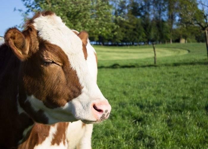 Содержание белка в молоке коров: от чего зависит и как повысить этот показатель
