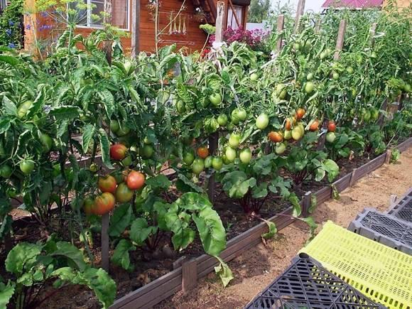 Как вырастить помидоры в открытом грунте?