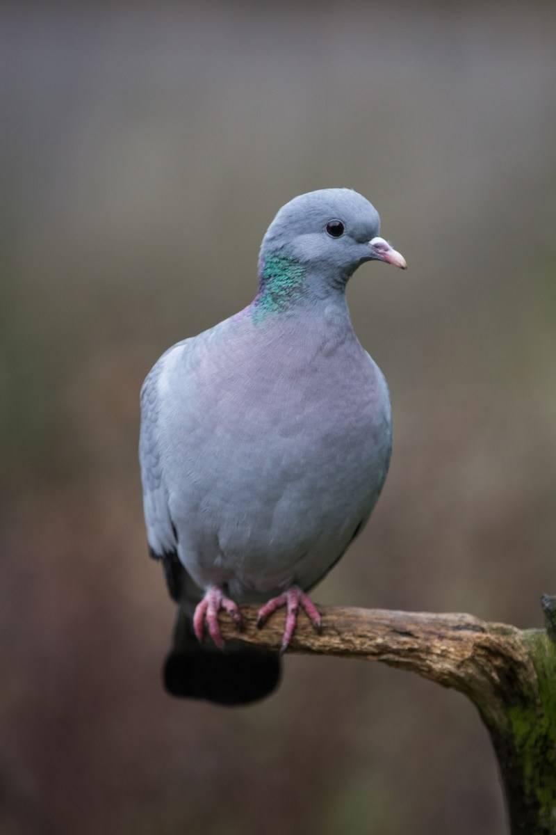 Жемчужина домашнего подворья — венценосный голубь