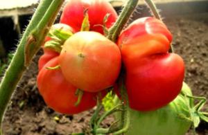 Как выращивать томат толстой и ухаживать за ним