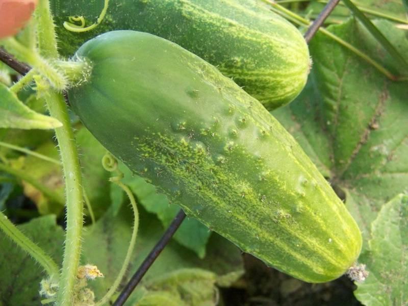 Холодостойкие сорта огурцов: 30 лучших с описанием для открытого грунта