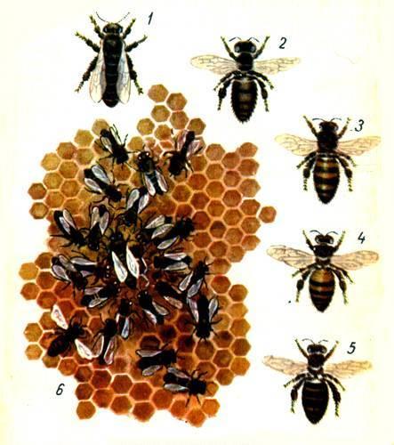 Внешнее и внутреннее строение пчелы